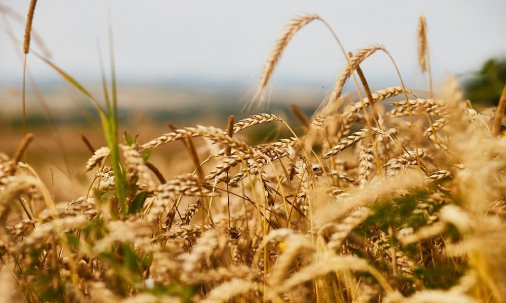 Rekordno visok nedeljni rast cena žitarica na berzi