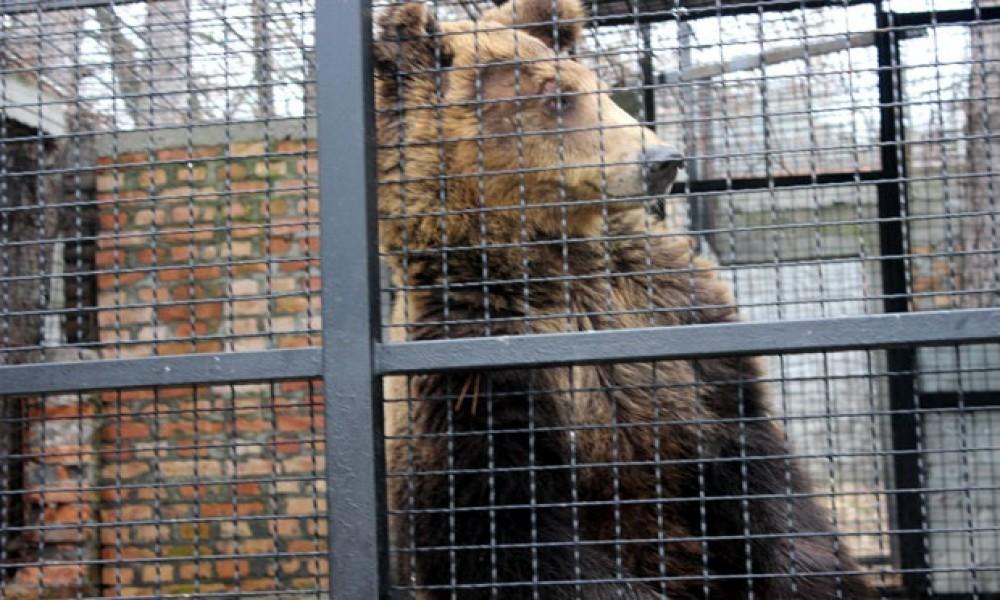 Medvedi u Beogradu i Jagodini nisu videli senku