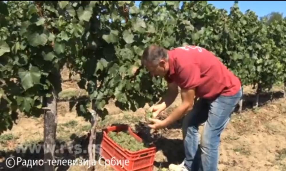 Sve bolja srpska vina-niču novi čokoti i vinarije