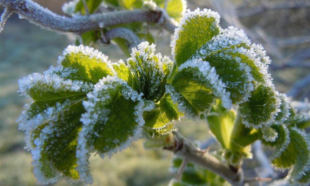 Metode zaštite biljaka od mrazeva i niskih temperatura