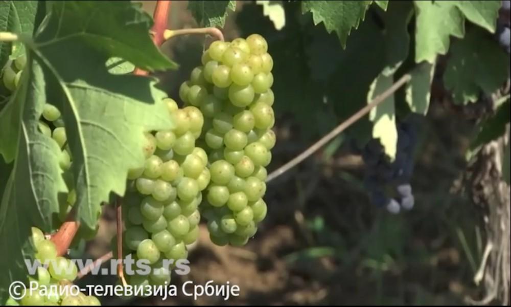 Još jedna kiša za sočno grožđe, očuvani čokot za zanimljivo vino