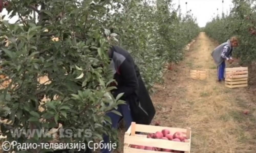 Kraljica voća, jabuka iz Srbije na putu za Indiju