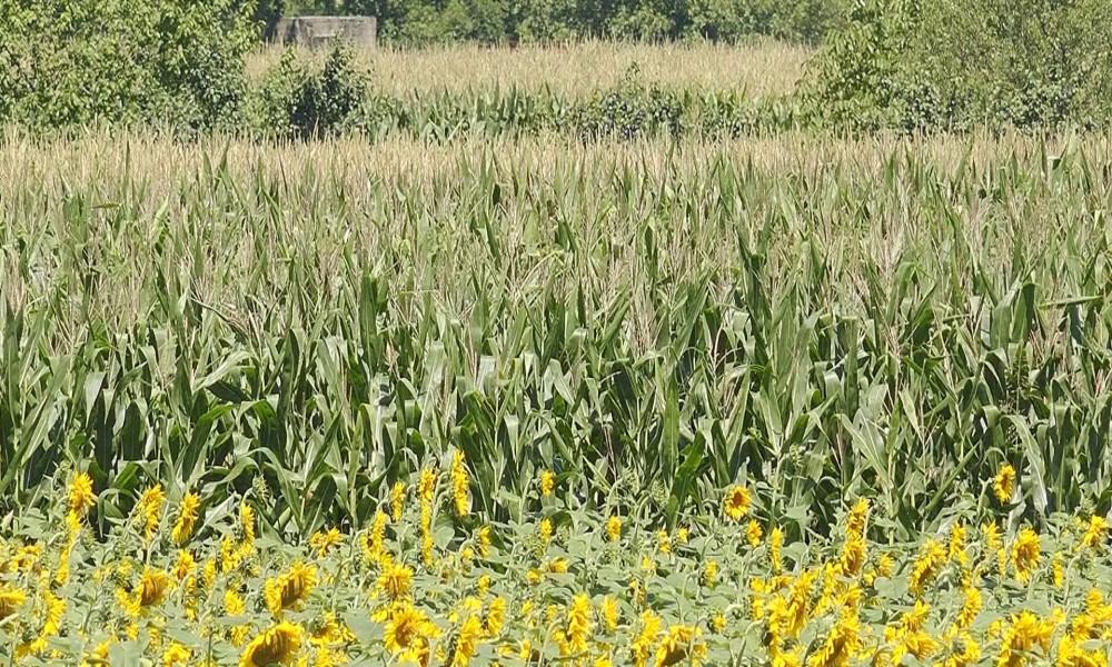 OČEKUJE SE PROSEČAN ROD SUNCOKRETA, A REKORDAN SOJE I KUKURUZA