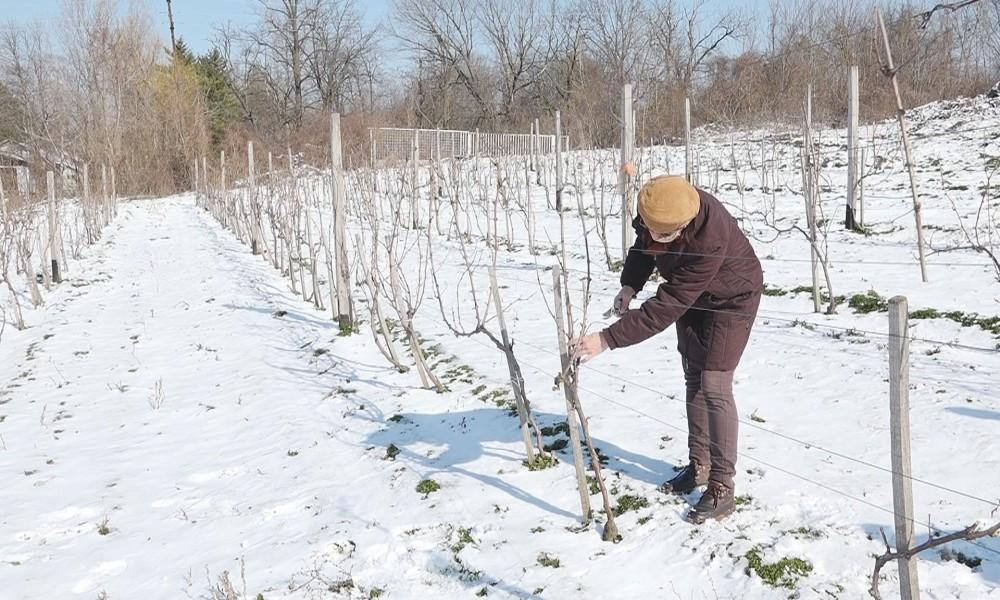 Simboličnim orezivanjem vinove loze počela proizvodnja vina