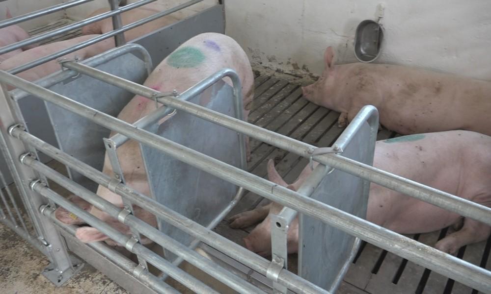 Novi objekat za smeštaj svinja u Poljoprivrednoj školi sa domom učenika Sonja Marinković