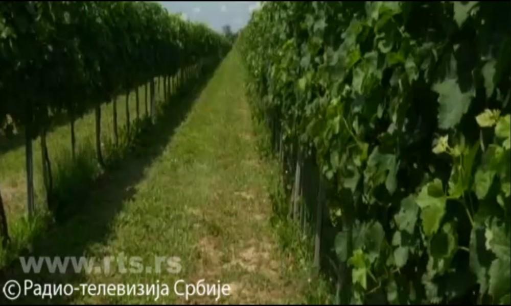 Nova strategija za razvoj vinarstva-plan da se proizvodnja utrostruči